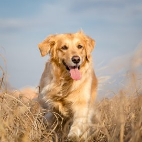Golden retriever information, photos, Niveau d