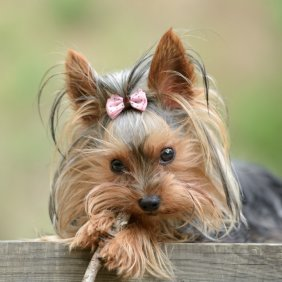Yorkshire Terrier information, photos, Niveau d