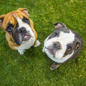 Old English Bulldog information, photos, Niveau d'intelligence, Prix, Hypoallergénique: Non