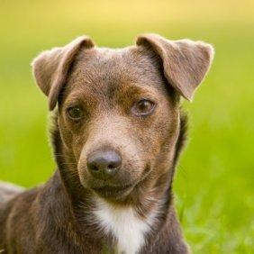 Patterdale Terrier information, photos, Niveau d'intelligence, Prix, Hypoallergénique: Non