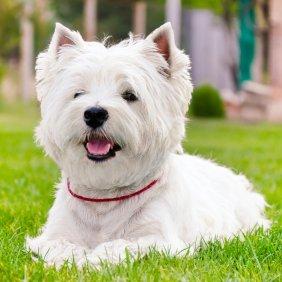 West Highland white terrier information, photos, Niveau d'intelligence, Prix, Hypoallergénique: Oui