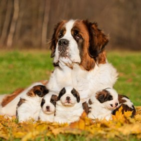 Saint-bernard information, photos, Niveau d