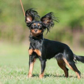 Petit chien russe information, photos, Niveau d'intelligence, Prix, Hypoallergénique: Non