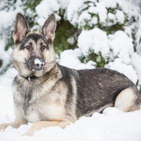 Shiloh Shepherd Dog information, photos, Niveau d'intelligence, Prix, Hypoallergénique: Non