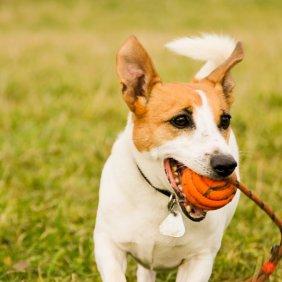 Jack Russell terrier information, photos, Niveau d'intelligence, Prix, Hypoallergénique: Non