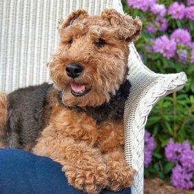 Welsh terrier information, photos, Niveau d'intelligence, Prix, Hypoallergénique: Oui