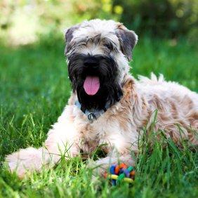 Irish Terrier à poil doux information, photos, Niveau d'intelligence, Prix, Hypoallergénique: Oui