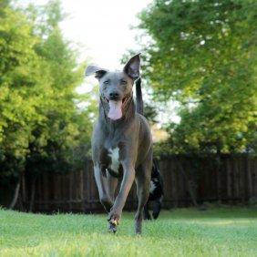 Lacy Dog information, photos, Niveau d'intelligence, Prix, Hypoallergénique: Non