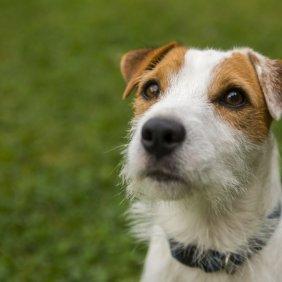Parson Russell terrier information, photos, Niveau d'intelligence, Prix, Hypoallergénique: Non