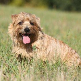 Norfolk Terrier information, photos, Niveau d'intelligence, Prix, Hypoallergénique: Oui