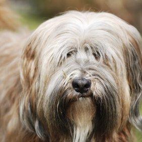 Terrier tibétain information, photos, Niveau d'intelligence, Prix, Hypoallergénique: Oui