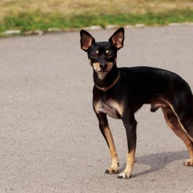 Toy Manchester Terrier information, photos, Niveau d'intelligence, Prix, Hypoallergénique: Non