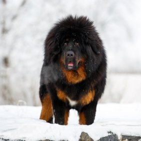 Mastiff du Tibet information, photos, Niveau d'intelligence, Prix, Hypoallergénique: Non