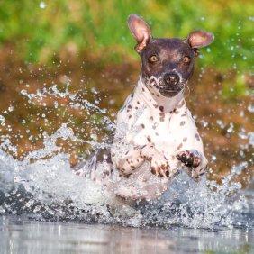 American Hairless terrier information, photos, Niveau d'intelligence, Prix, Hypoallergénique: Non