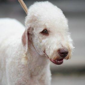 Bedlington terrier information, photos, Niveau d'intelligence, Prix, Hypoallergénique: Oui