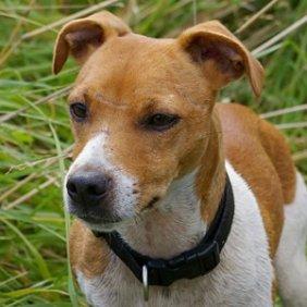 Plummer Terrier information, photos, Niveau d'intelligence, Prix, Hypoallergénique: Non
