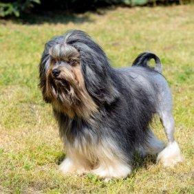 Petit chien lion information, photos, Niveau d'intelligence, Prix, Hypoallergénique: Oui