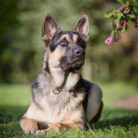 East European Shepherd information, photos, Niveau d'intelligence, Prix, Hypoallergénique: Non