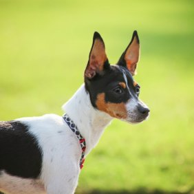 Rat Terrier information, photos, Niveau d'intelligence, Prix, Hypoallergénique: Non