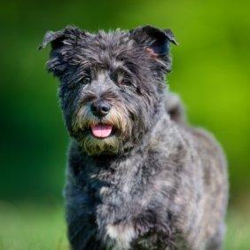 Cairn terrier information, photos, Niveau d'intelligence, Prix, Hypoallergénique: Oui