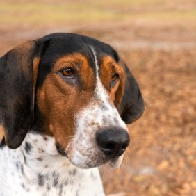 Treeing Walker Coonhound information, photos, Niveau d'intelligence, Prix, Hypoallergénique: Non