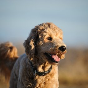 Goldendoodle information, photos, Niveau d'intelligence, Prix, Hypoallergénique: Non
