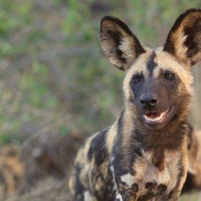 African Wild Dog information, photos, Niveau d'intelligence, Prix, Hypoallergénique: Non