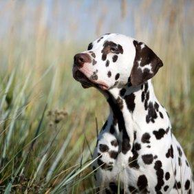 Dalmatien information, photos, Niveau d'intelligence, Prix, Hypoallergénique: Non