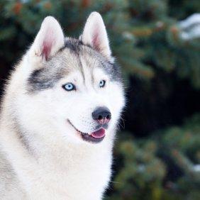 Husky de Sibérie information, photos, Niveau d'intelligence, Prix, Hypoallergénique: Non