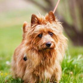 Terrier australien information, photos, Niveau d'intelligence, Prix, Hypoallergénique: Oui