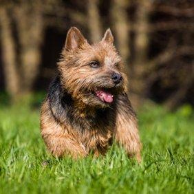 Norwich Terrier information, photos, Niveau d'intelligence, Prix, Hypoallergénique: Oui