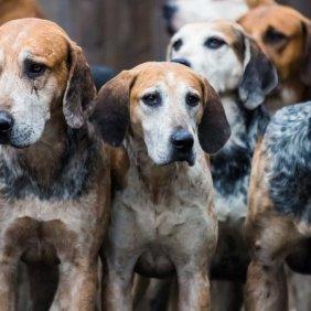 Foxhound anglais information, photos, Niveau d'intelligence, Prix, Hypoallergénique: Non