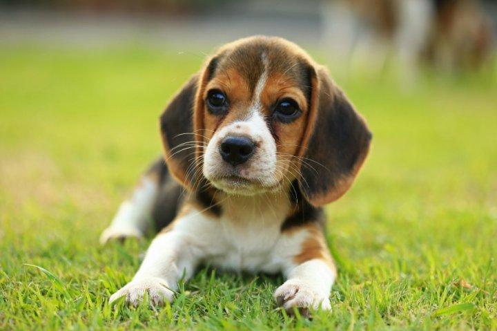 Beagle chiots