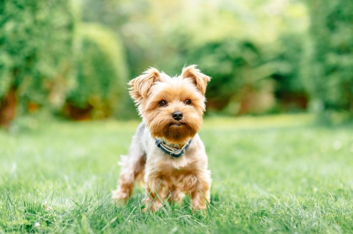 Yorkshire Terrier chiots