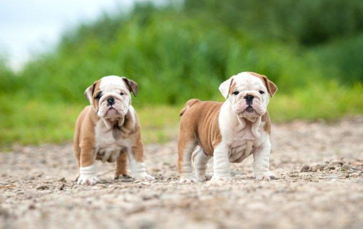 Bulldog chiots
