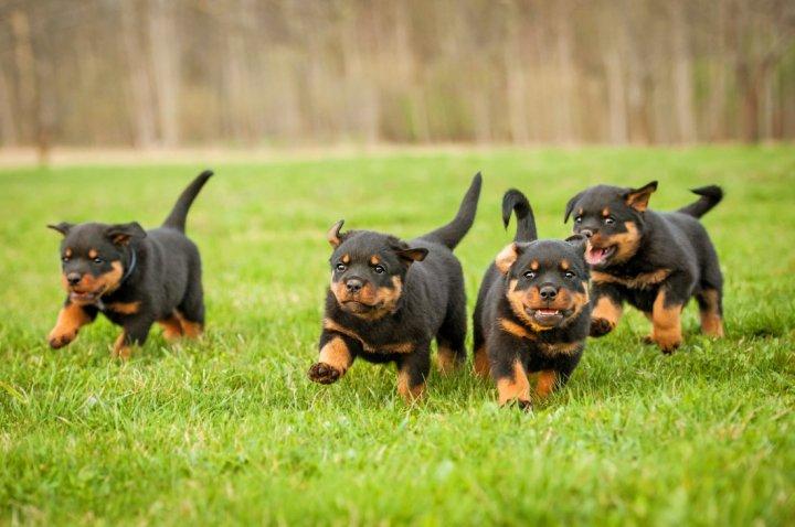 Rottweiler chiots