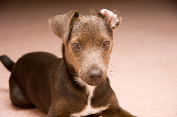 Patterdale Terrier chiots