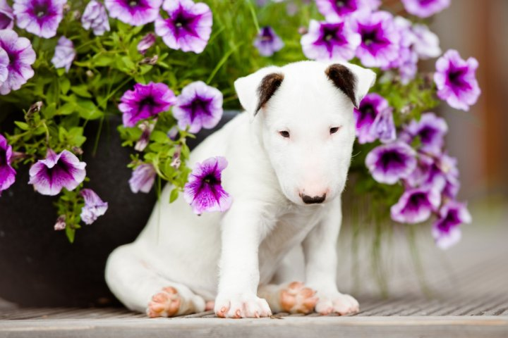 Bull Terrier chiots