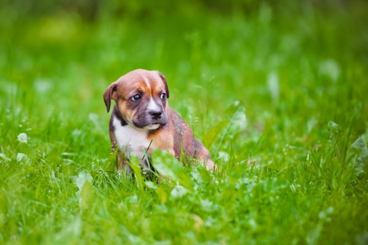 Staffordshire Bull Terrier chiots