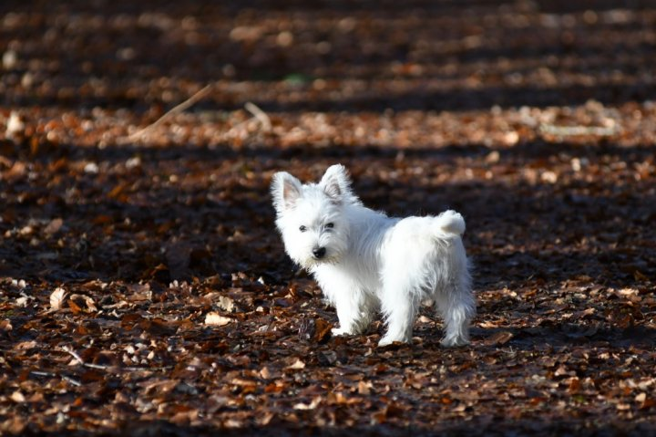 West Highland white terrier chiots