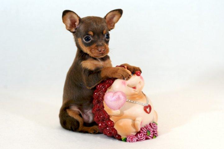 Petit chien russe chiots