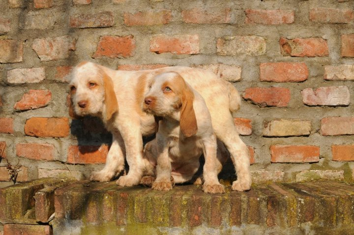 Spinone chiots