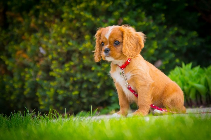 Cavalier King Charles Spaniel chiots