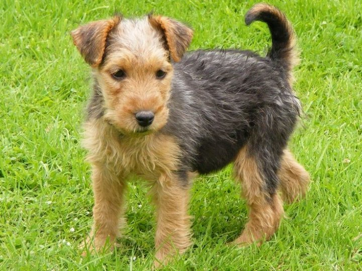 Lakeland Terrier chiots