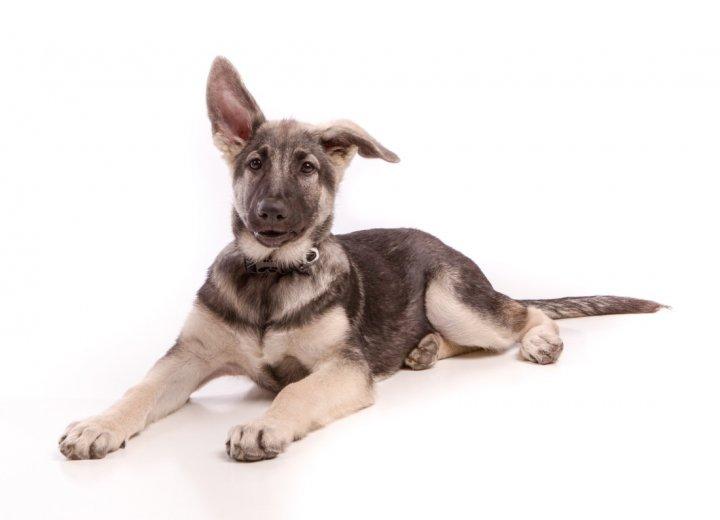 Shiloh Shepherd Dog chiots
