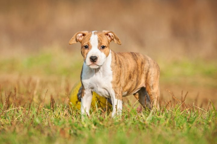American Staffordshire Terrier chiots
