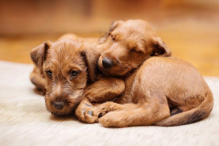 Terrier irlandais chiots