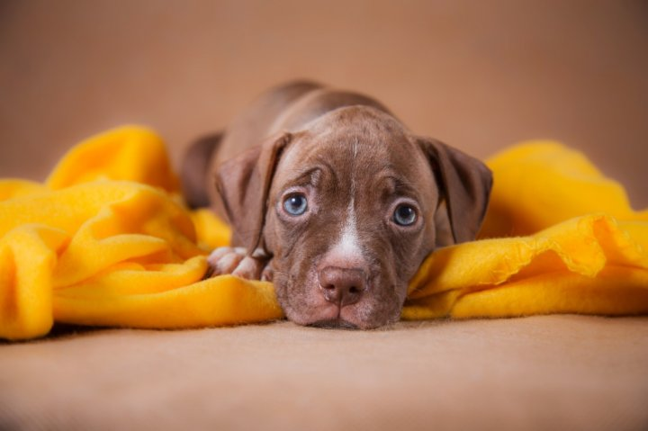 American Pit Bull Terrier chiots