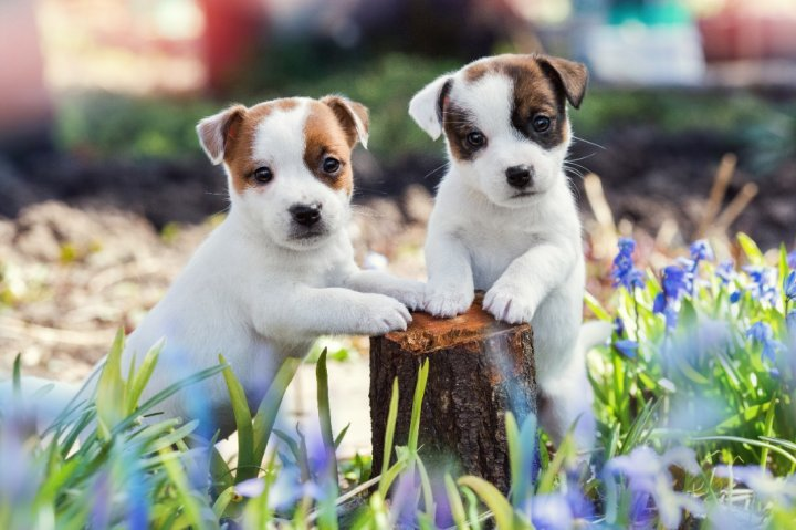 Jack Russell terrier chiots