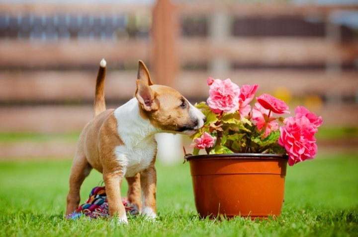 Bull terrier miniature chiots